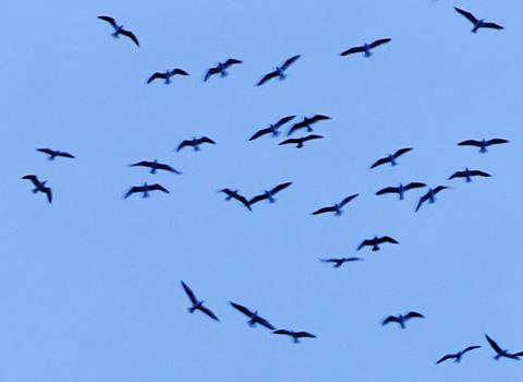pajaros-volando