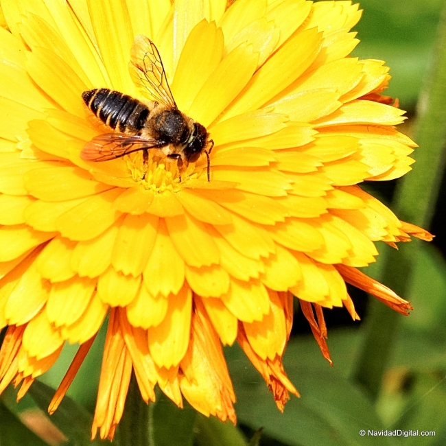 abeja-en-flor