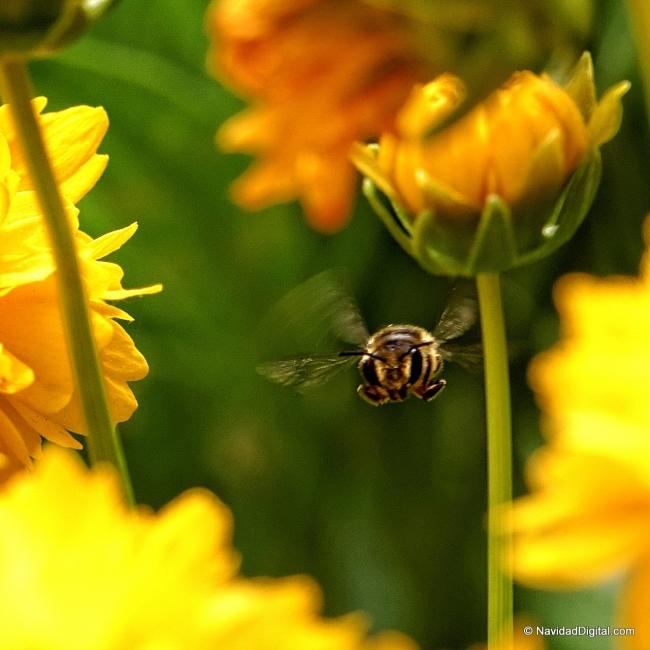 abeja-volando