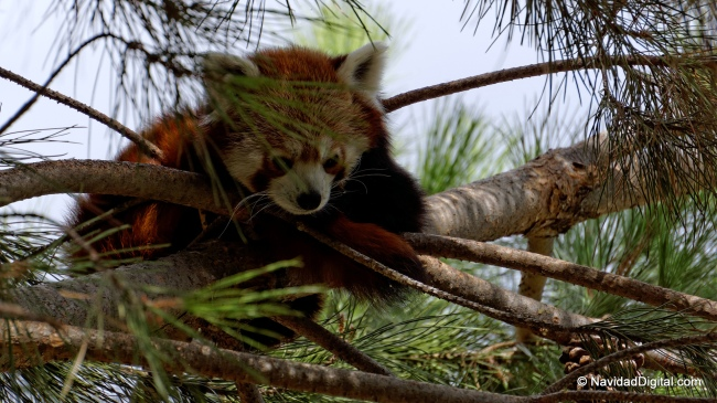 panda-rojo-pino