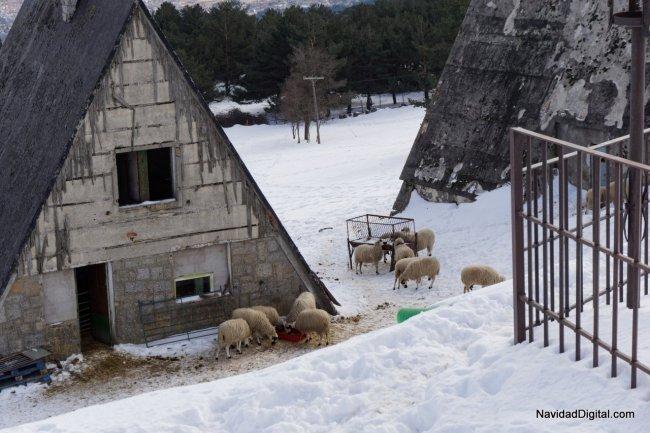 ovejas-nieve