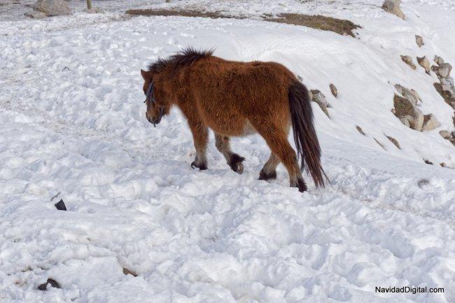 pony-nieve-guadarrama